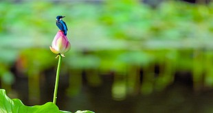 Kingfisher with Lotus