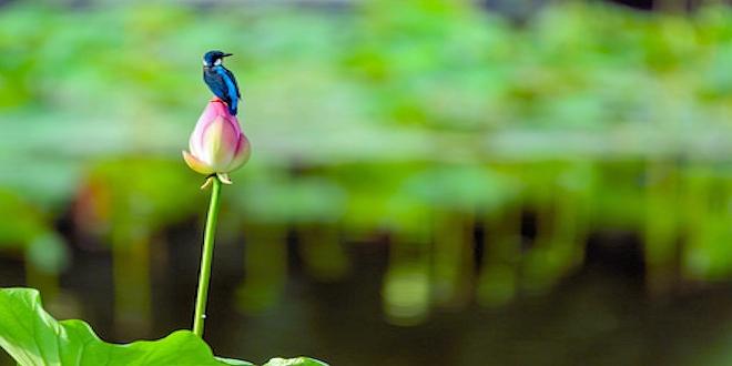 Kingfisher with Lotus