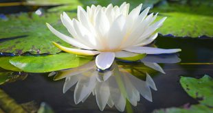 Lotus of Truth & Beauty