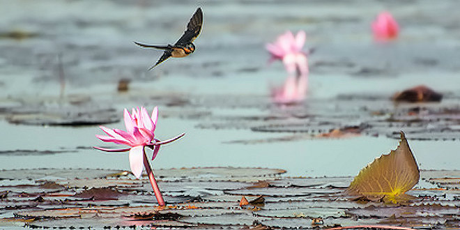 Lotus with swallow