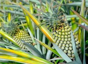 Pineapples tend to use the 5-8-13 Fibonacci ratio