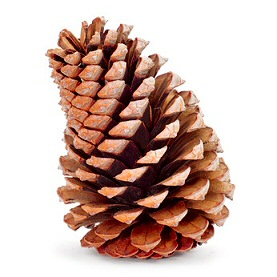 Pine cone displaying its spiral structure