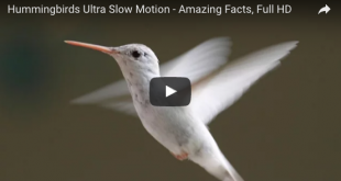 Hummingbirds Ultra Slow Motion – Amazing Facts, Full HD